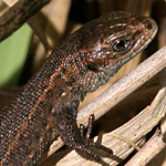 Juvenile common lizard