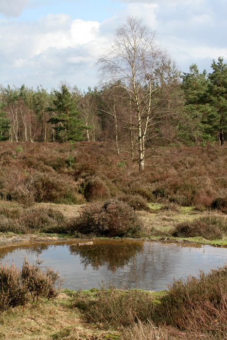 Idyllic heathland at Crooksbury Common