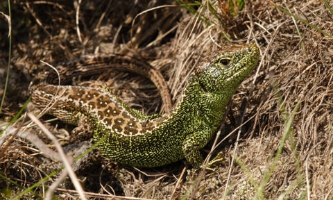 An adult male Sand lizard - Britain