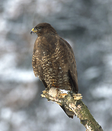 Up to 5% of the buzzards diet comprises reptiles and amphibians; including adders.