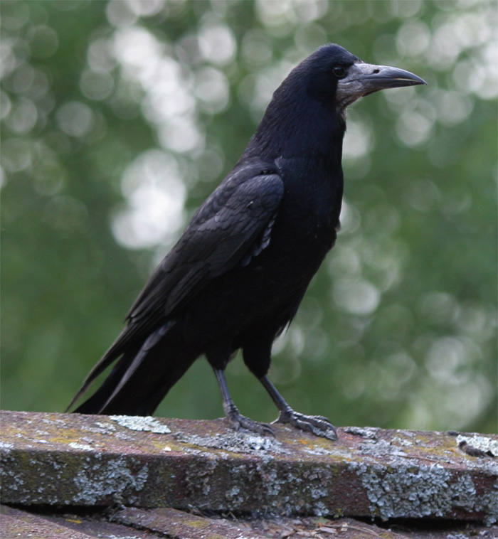 Crows (rook)