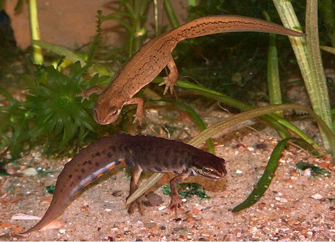 Newts in aquatic phase.