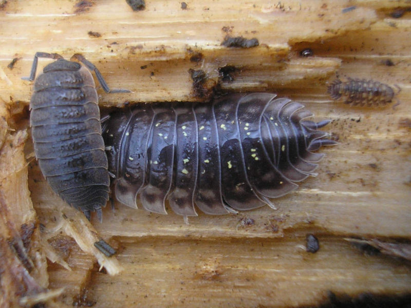 Invertebrates such as the wood louse.