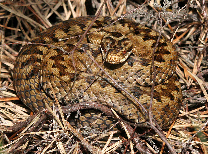 The female Adder has a brown zig-zag pattern; and brown flecks on the labial scales.