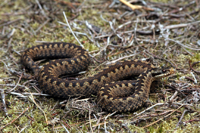 The zig-zag markings of this female adder are unmistakable.