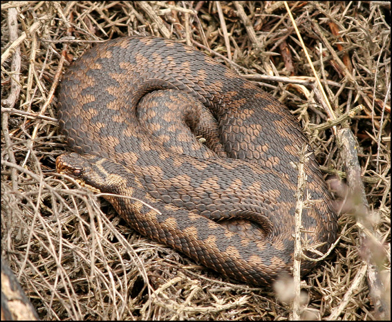 A female adder moving across country. Note the indistinct lateral spots.