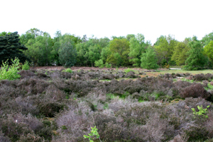 Heathland is ideal habitat for Adders.