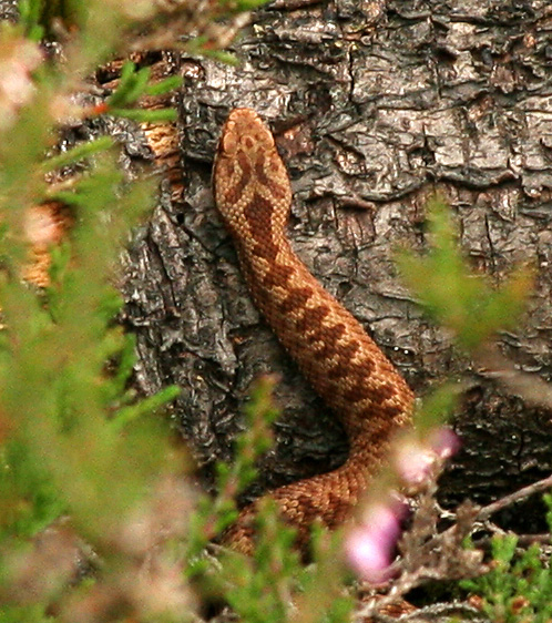 This juvenile Adder shows the characteristic ginger colouration.