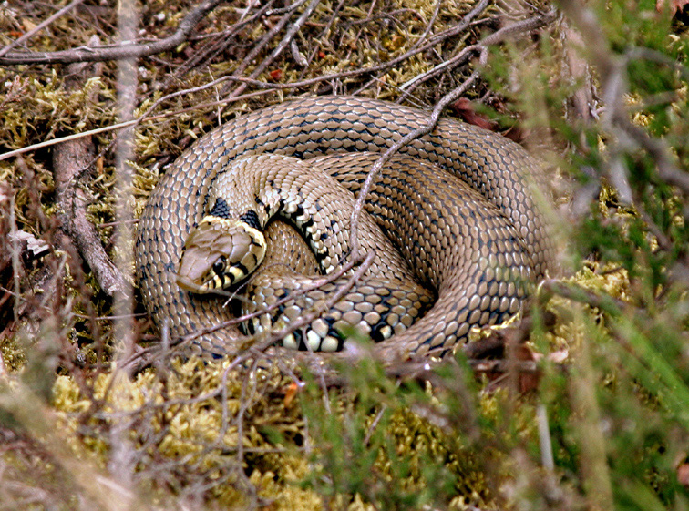 The grass snake is the most commonly encountered snake; often misidentified as an adder.
