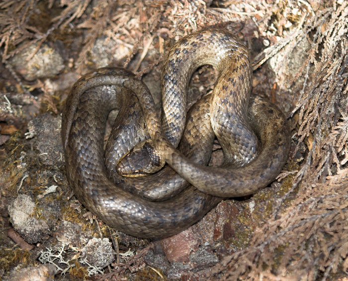 The smooth snake has no zig-zag pattern along the back; but is rarely encountered.