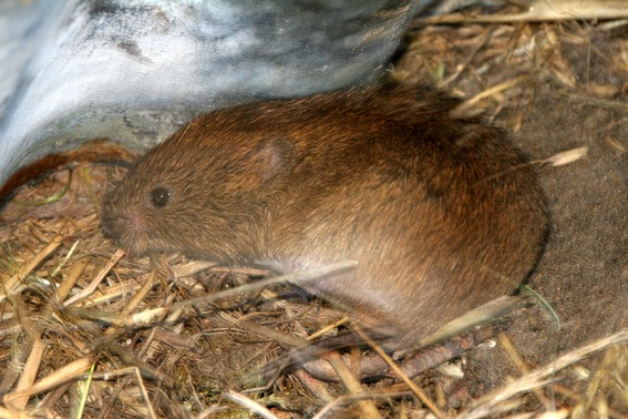 Small mammals such as the Field vole are the staple diet of Adders.