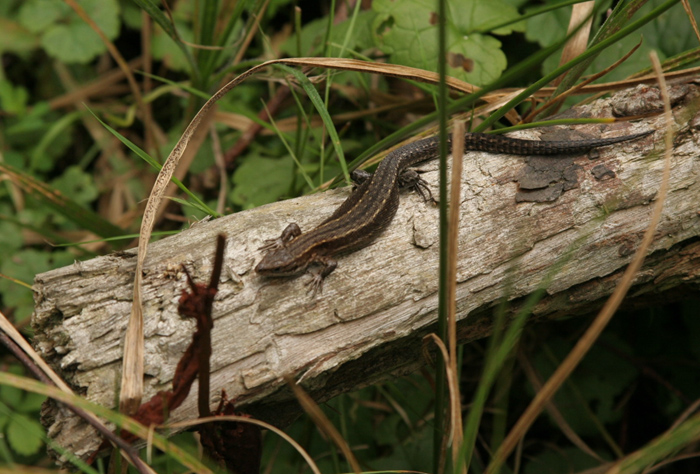 Common lizards are often seen basking on bits of wood that lie in grass.