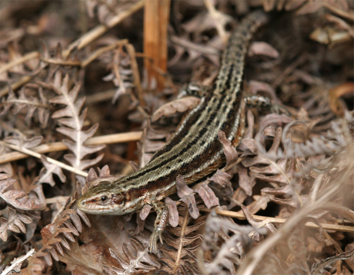 The female Common lizard tends to be