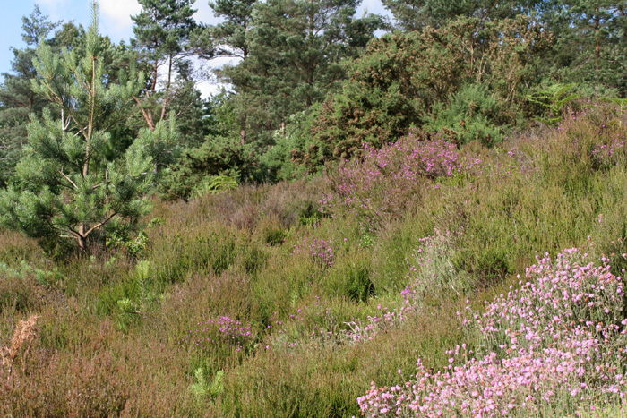 Heathland banks provide good basking opportunities.