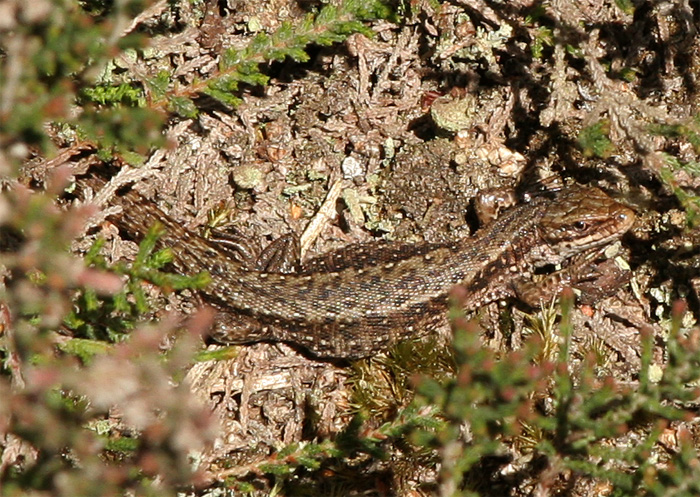 The male Common lizard tends to be
