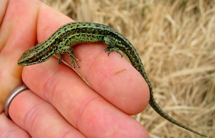 A green-morph Common lizard © Rob Pilley