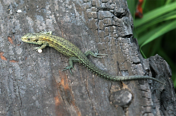 Young Common lizard starting to demonstrate adult patternation.