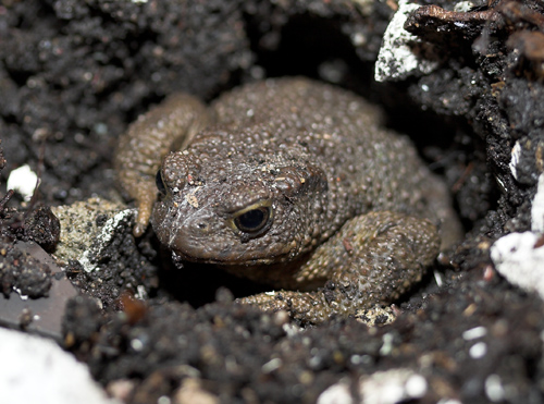 /SARG/08000-TheAnimals/SpeciesPages/Common_Toad/Common_Toad_Hole.jpg