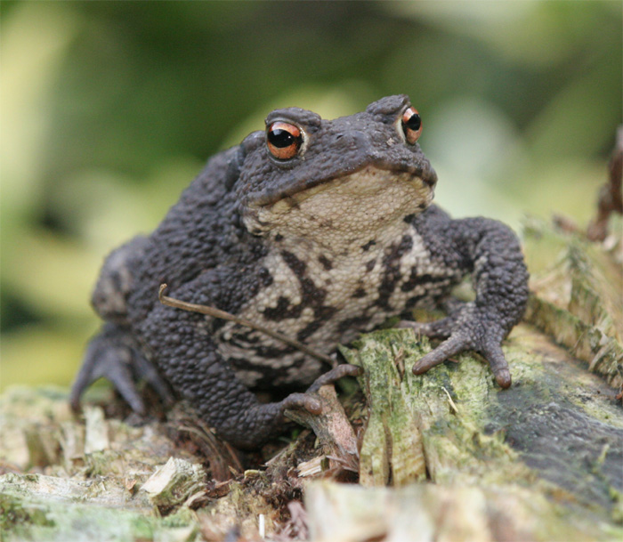 /SARG/08000-TheAnimals/SpeciesPages/Common_Toad/Common_Toad_Portrait.jpg