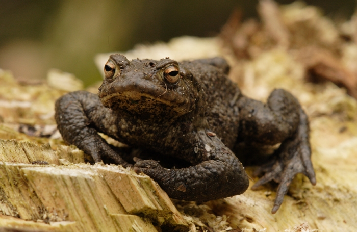/SARG/08000-TheAnimals/SpeciesPages/Common_Toad/Toad2.jpg