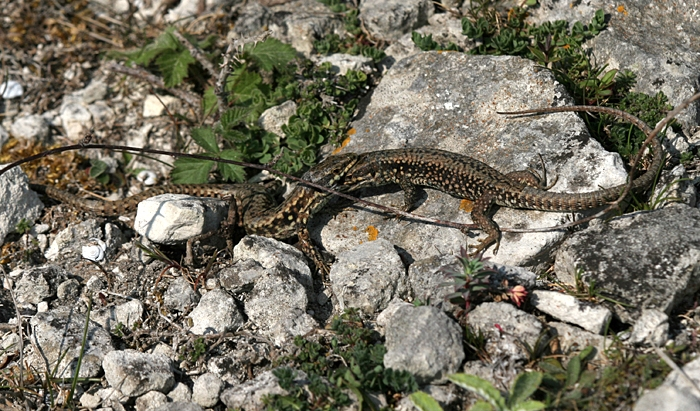 Wall lizard males can be extremely territorial - fights between males for territory are commonplace.
