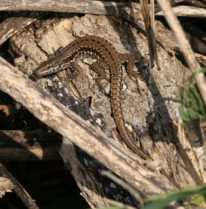 A brown-backed form of the Common Wall lizard of the Shoreham colony.