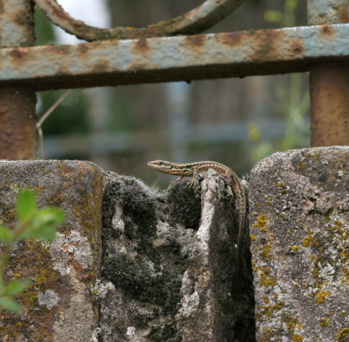 Stonework in a church yard is just as acceptable for shelter - Se�s France.