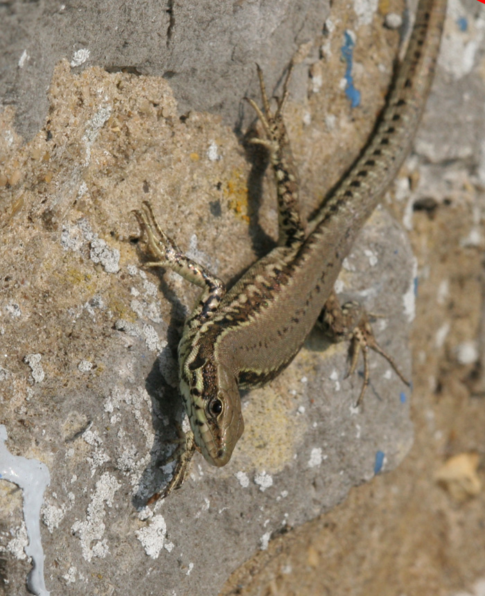 Wall lizards are often found basking whilst clinging to vertical surfaces.