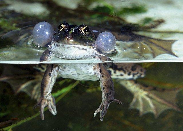 frog nares