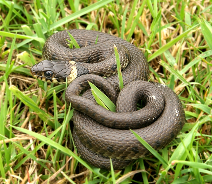 A juvenile Grass snake is a minature of an adult.