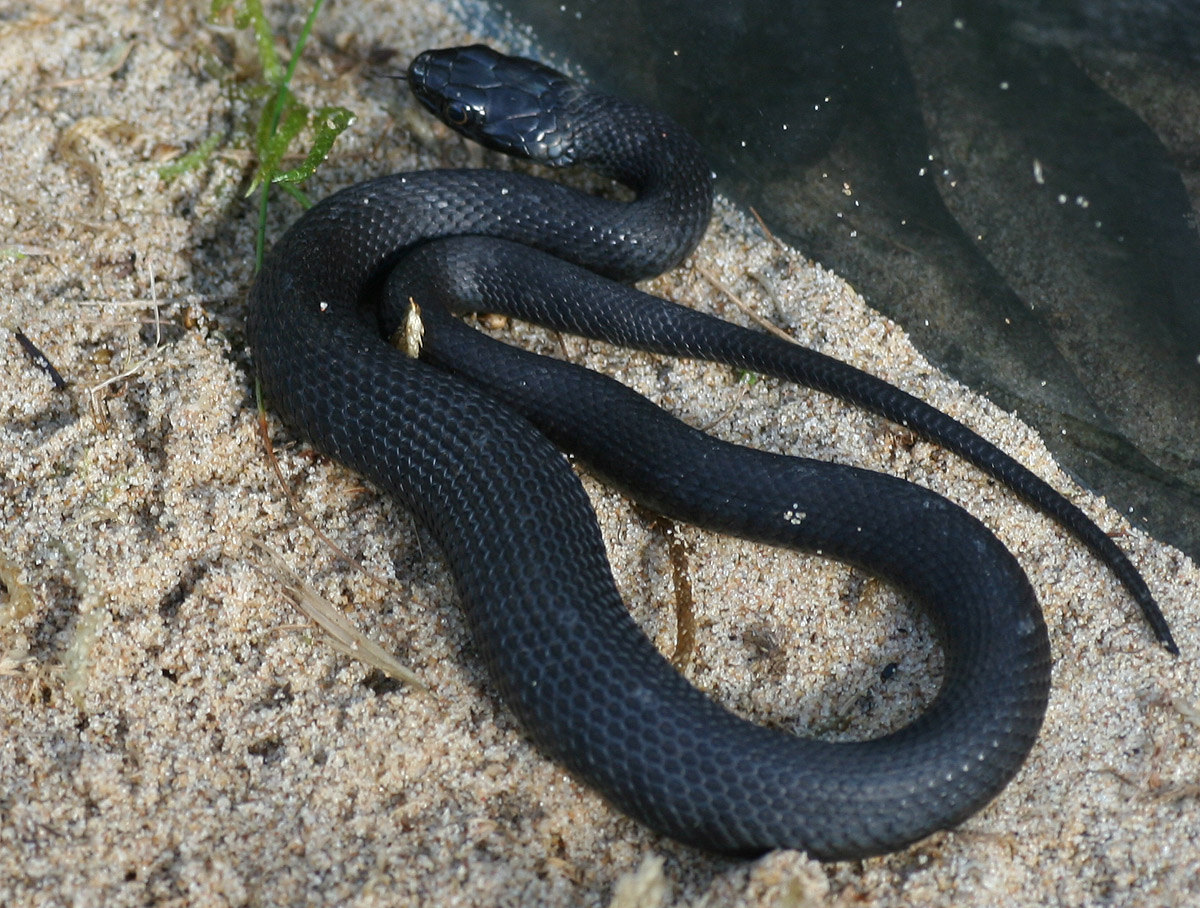 Melanistic Grass snakes are uncommon. © John Newton