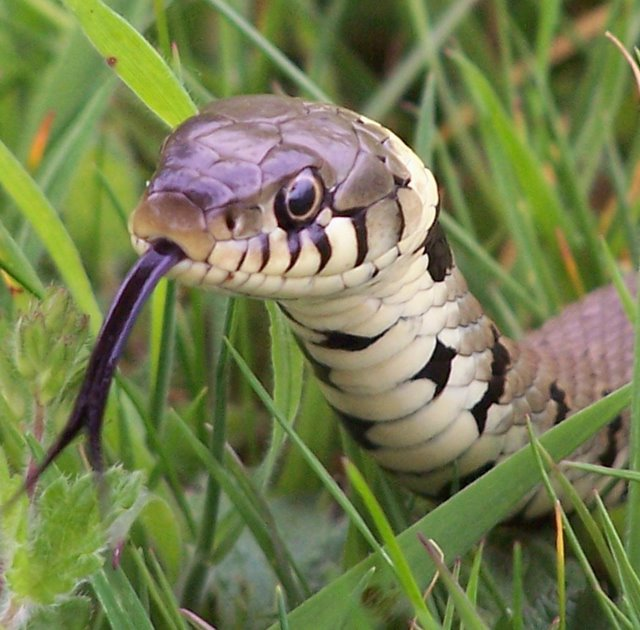 [Image: Grass_Snake_Tongue.jpg]