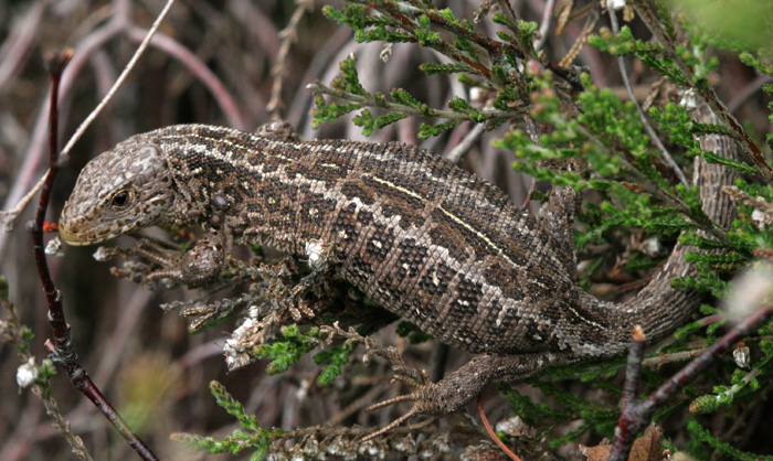 Adult gravid female Sand lizard