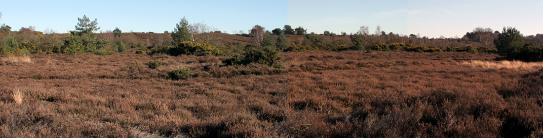 Mosaic mature heather with a mix of gorse and sparse trees below a south-facing bank.