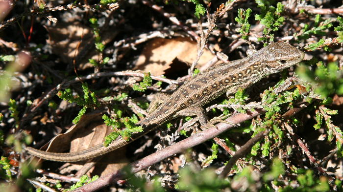 Juvenile Sand lizards can be identified by the two light dorso-lateral lines and row of ocelli along the flanks. They are often mistaken for Common lizards.