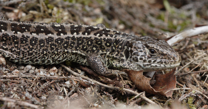 Adult male Sand lizard