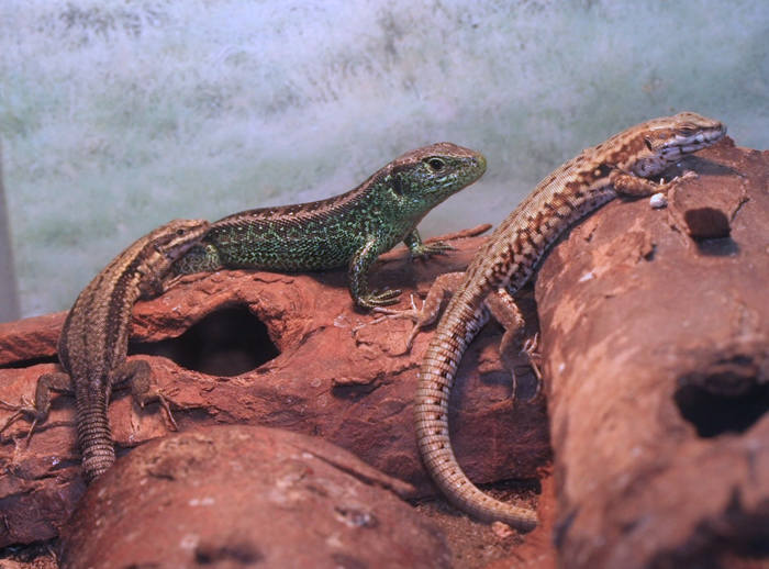 Sand lizard (centre) with flanking Wall lizards