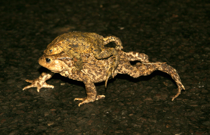 Common Toads (Bufo bufo) in amplexus, crossing a road.